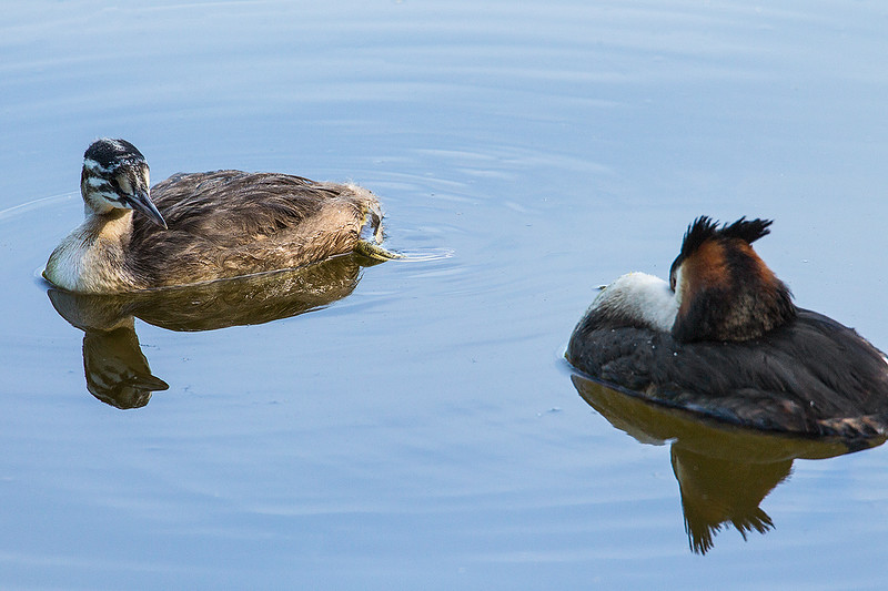 Great Crested Grebe and Juvenile Grebe