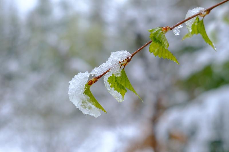 Snø på nysprungen bjørk i Mai.