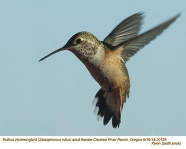 Rufous Hummingbird F20728.jpg