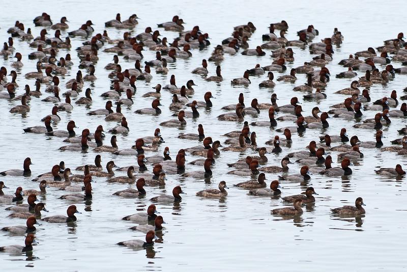 Redhead - flock - St. George Island, FL