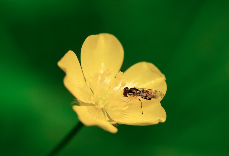 """Flybee"" on yellow forest wildflower.  Fern Canyon, Redwoods National Park"