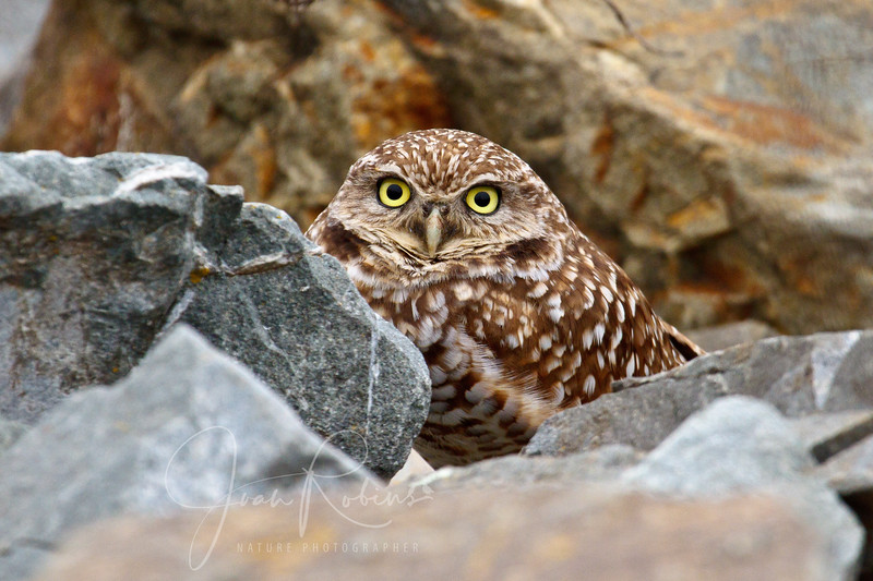 Hamilton Burrowing Owl-January 07, 2011-15.jpg