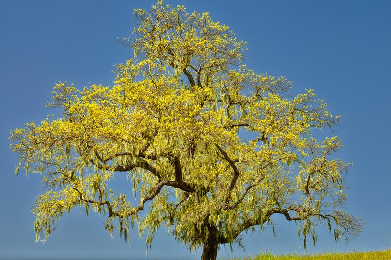 Tree, Henry Coe State Park, California, 2010