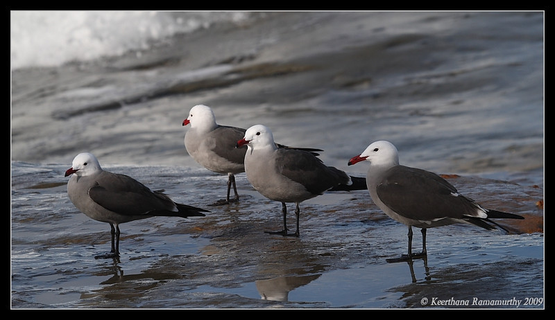 Heermann's Gull, La Jolla Cove, San Diego County, California, February 2009