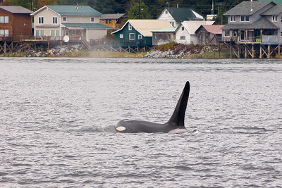 Orca (Killer Whale) Cruising Past Tenakee October 2014, Cynthia Meyer, Tenakee Springs, Alaska P1410441