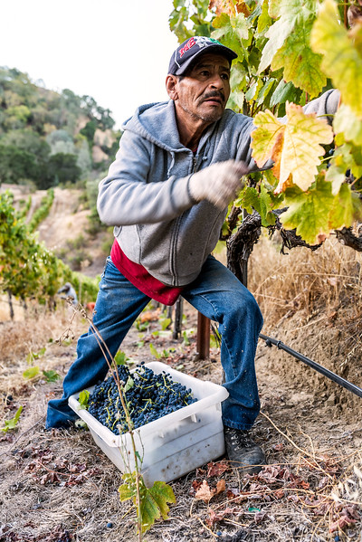 Blue_Rock_Grape_Picking_2048-.jpg