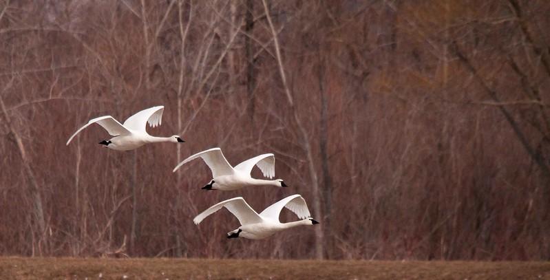 swan aylmer 2011-2.jpg