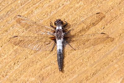 Aug. 20, 2017 - Dragonflies