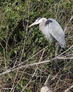Great Blue Heron at Paradise Pond in Port Aransas.