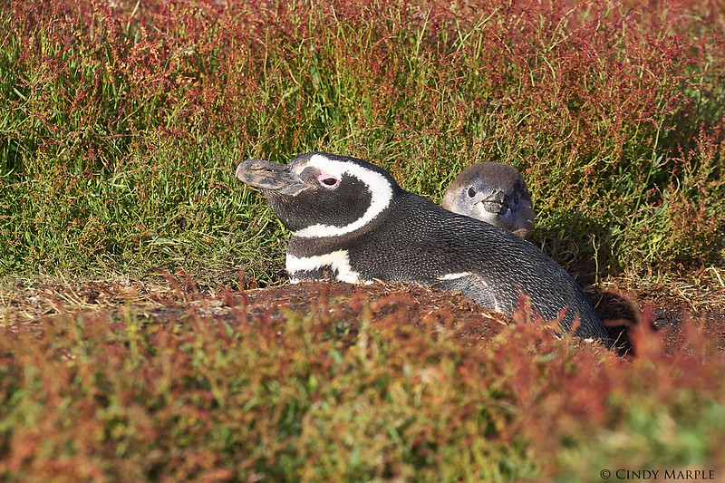 Magellanic Penguin and chick