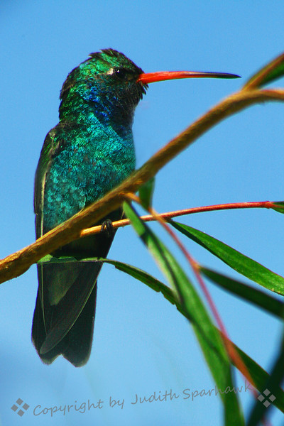 """Broad-Billed Hummingbird ~  Published in December/January 2010 National Wildlife, magazine of the National Wildlife Federation; """"The Hummingbirds of Winter."""""""