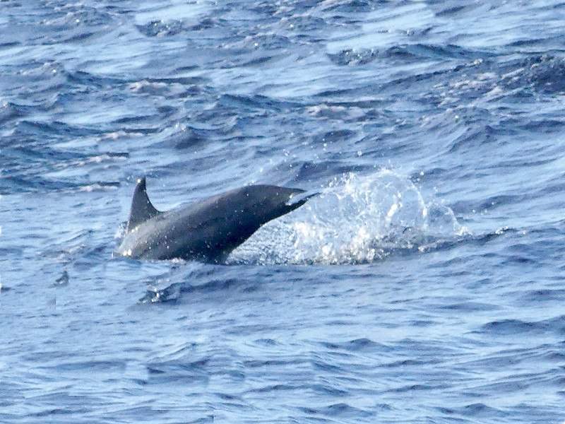 Dolphins Mirissa20160125_001.jpg