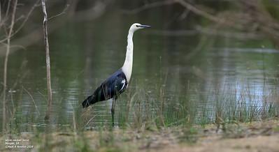 White-Necked Heron  (Ardea pacifica)