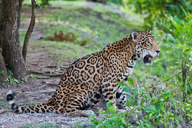 A Jaguar at Xcaret Eco-Park in Mexico.