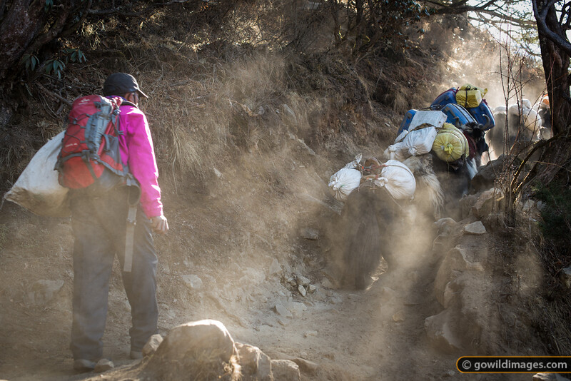Yak train navigates the steep and dusty hill below Tengboche, en route to base camp