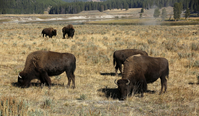Just bisons and geysers...
