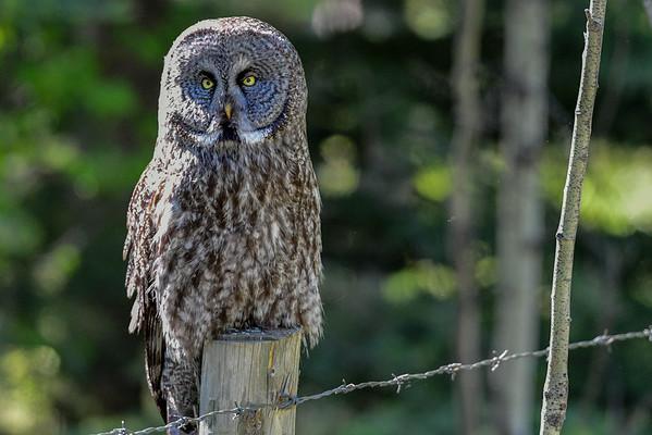 5-25-16 Great Gray Owl - Sundre Ab.