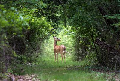 Summer Deer 2017