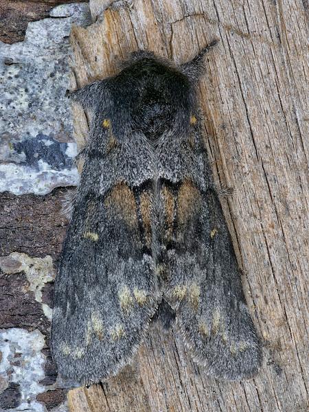 Severe Gluphisia Moth