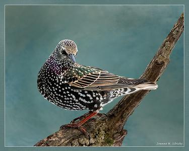 Starlings!