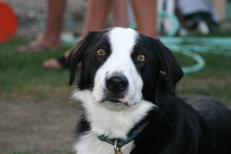 Carson the Border Collie