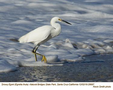 Snowy Egret 28687.jpg