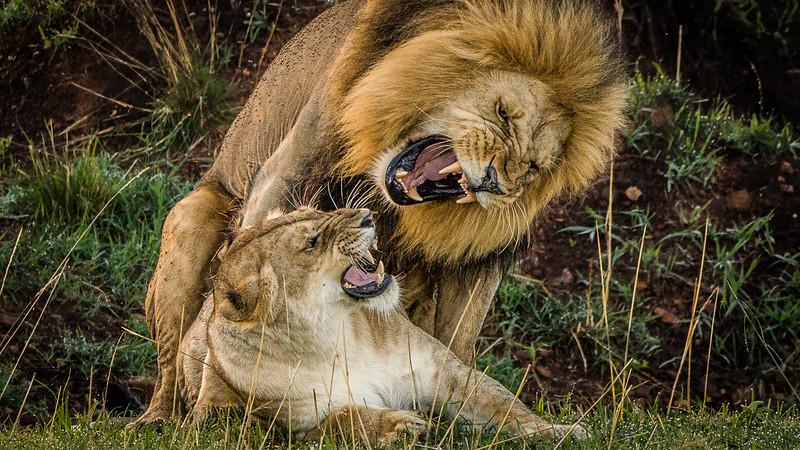 Lions-0131.jpg