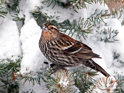 Blackbird - Red-winged