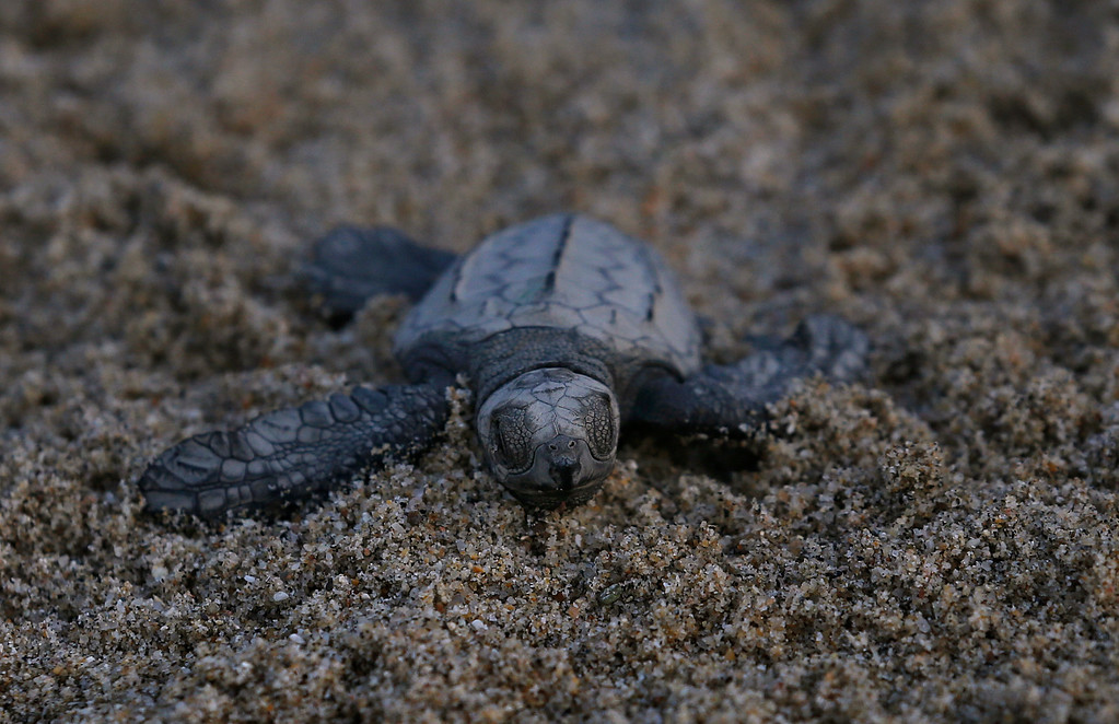". In this Saturday, Dec. 2, 2017 photo, an olive ridley sea turtle walks to the sea in Sayulita, Nayarit state, Mexico. A local non-profit organization ""Red Tortuguera\"" is helping the turtles survive by relocating recently laid eggs to a protected area of the beach, collecting the hatchlings to keep them safe from bird attacks, and releasing them as a group every Saturday at sun set. (AP Photo/Marco Ugarte)"