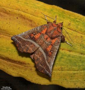 Subfamily Erebidae