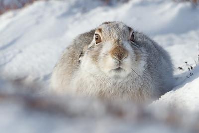 Mountain Hare Workshop