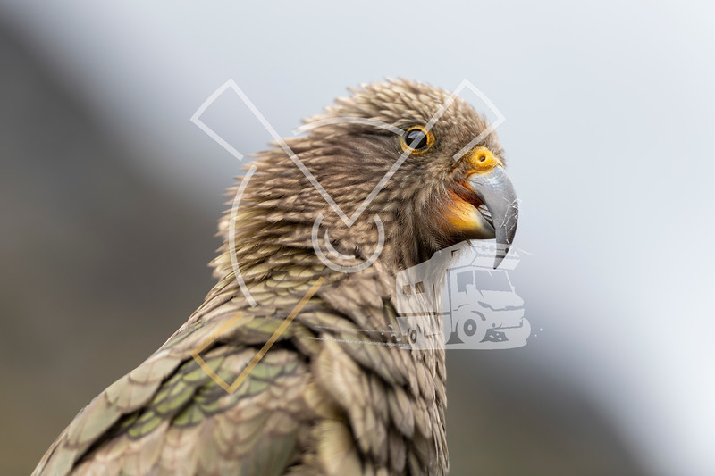 Portrait of Kea bird, worlds only Alpine Parrot in the New Zealand Southern Alps