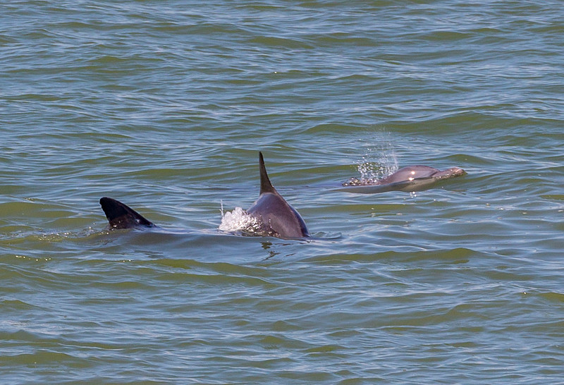 Three frolicking Dolphins