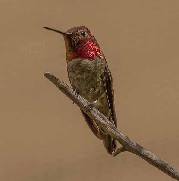Hummingbirds 4-5-2017c.jpg