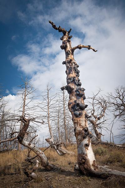 Burnt Tree Yellowstone National Park