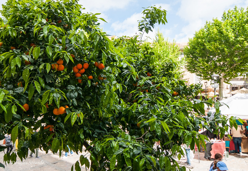 Orange trees in Soller, Mallorca