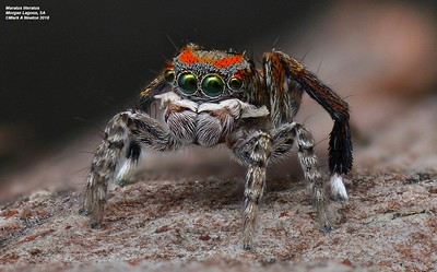 Salticidae  (Jumping Spiders)