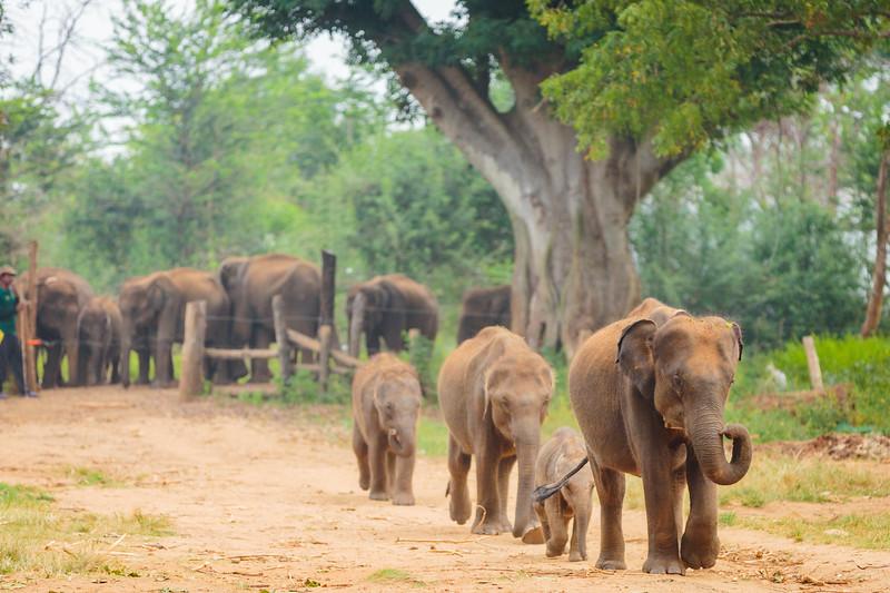 Elephant feeding Udawalawe
