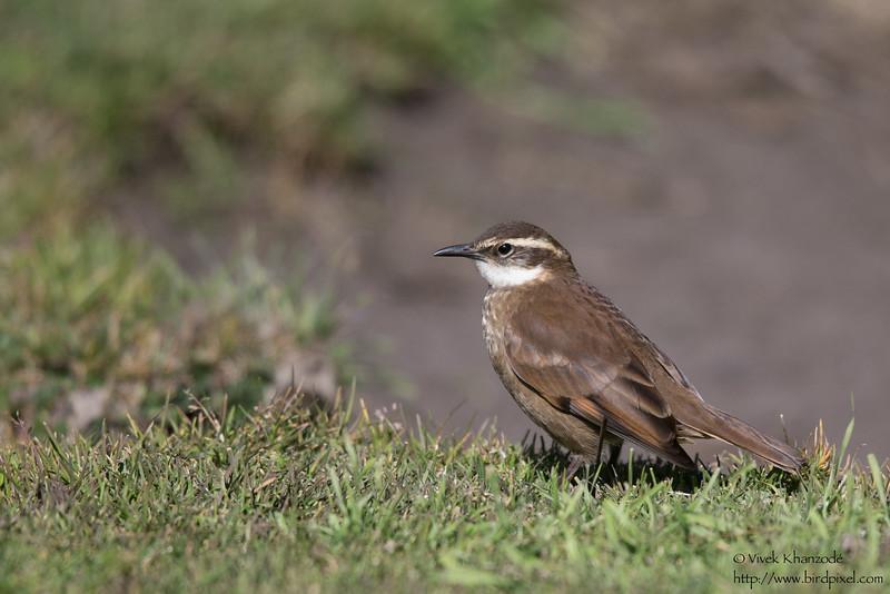 Stout-billed Cinclodes - Record - Antisana Ecological Preserve, Ecuador