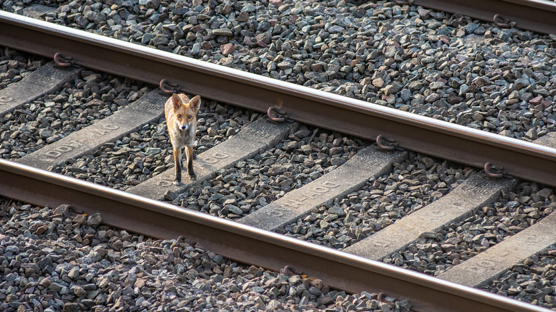 Urban fox in north London