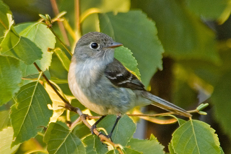Flycatcher - Least - Dunning Lake, MN