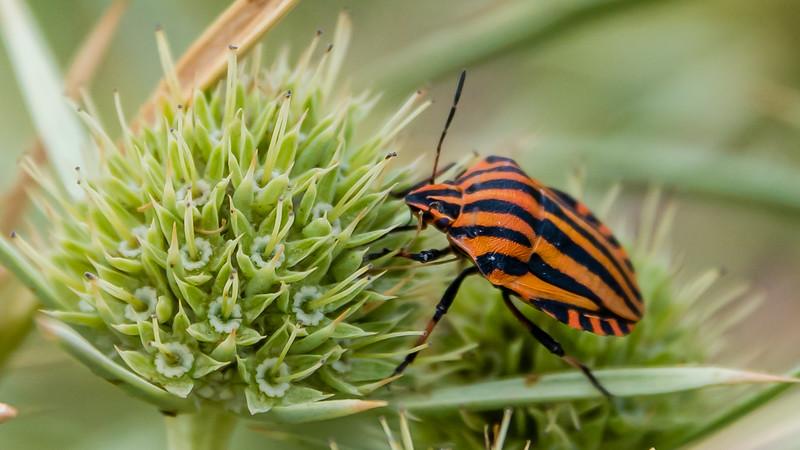 Striped Shield-bug