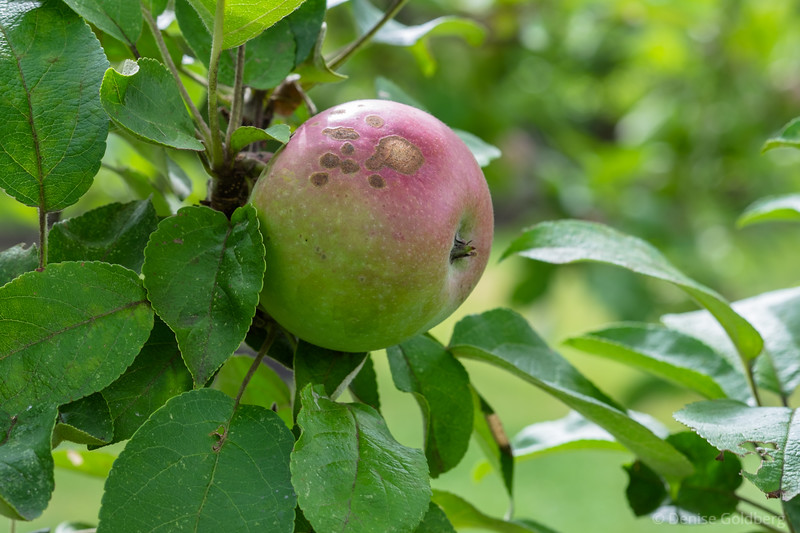 apples, a sign of the changing season