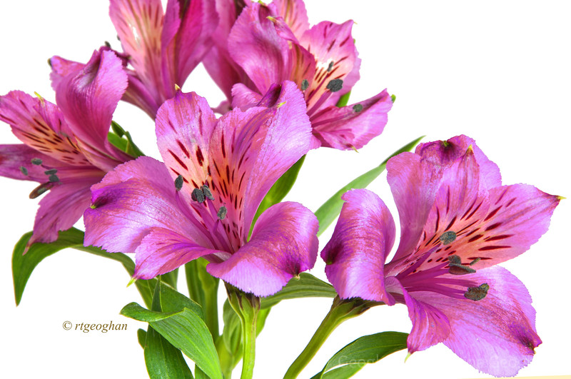 Day 49: Alstroemeria Blossoms - Feb 18.