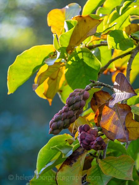 Himalayan Garden Oct 18-72.jpg
