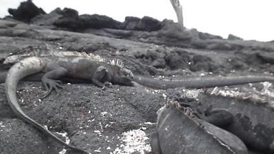 iguanas spitting