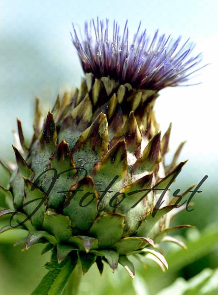 lav flower 2a 602.jpg