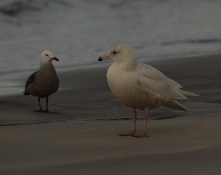 Glaucous Gull  Heerman`s Gull  Oceanside  2014 02 26-1.CR2