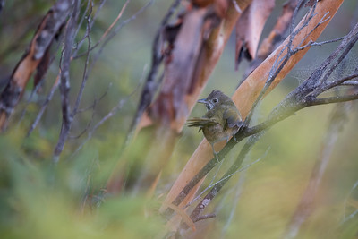 Whipbirds & Wedgebills