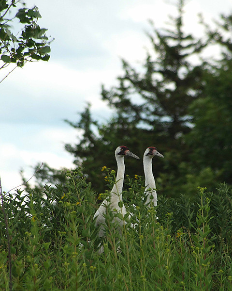 Cranes double .jpg